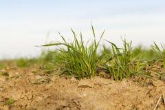 Młode traw rośliny, zakończenie Zdjęcia Stock