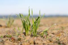 Młode traw rośliny, zakończenie Zdjęcie Stock