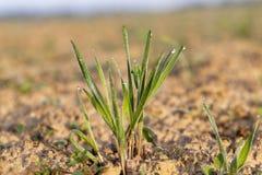 Młode traw rośliny, zakończenie Obrazy Stock