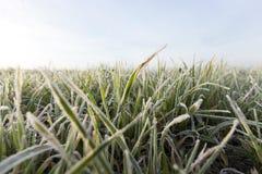 Młode traw rośliny, zakończenie Zdjęcia Royalty Free