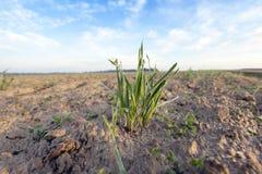 Młode traw rośliny, zakończenie Fotografia Royalty Free