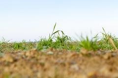 Młode traw rośliny, zakończenie Obraz Stock