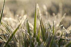 Młode traw rośliny, zakończenie Zdjęcie Royalty Free