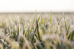 Młode traw rośliny, zakończenie Fotografia Stock
