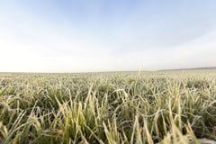Młode traw rośliny, zakończenie Obrazy Royalty Free