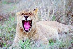 młode ziewanie lwa Zdjęcia Royalty Free