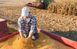 Młodego średniorolnego mienia dojrzałe kukurudze zdjęcie royalty free