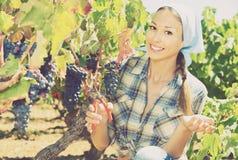 Młodego życzliwego żeńskiego zrywania dojrzali winogrona na winnicy zdjęcie royalty free
