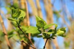 Młodego bloomimg świezi zieleni liście bez na jaskrawym słonecznym dniu Obrazy Royalty Free