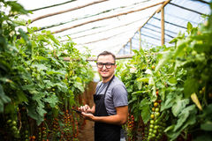 Młodego człowieka agronom sprawdza stan warzywo pomidory na pastylce na szklarni Obrazy Royalty Free