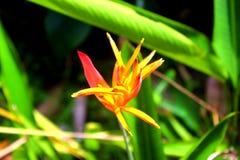 Młodego Heliconia psittacorum Złota pochodnia fotografia stock