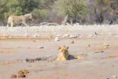 Młodego męskiego gnuśnego lwa łgarski puszek na ziemi Fotografia Stock