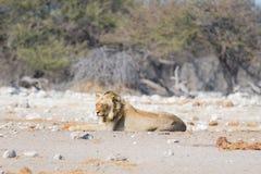 Młodego męskiego gnuśnego lwa łgarski puszek na ziemi i patrzeć kamerę Zebry defocused chodzący niezakłócony w tle dziki Zdjęcie Royalty Free