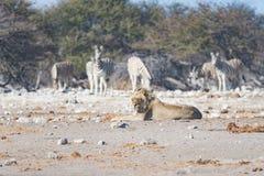 Młodego męskiego gnuśnego lwa łgarski puszek na ziemi i patrzeć kamerę Zebry defocused chodzący niezakłócony w tle dziki Zdjęcie Stock