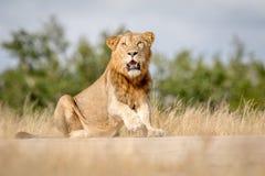 Młodego męskiego lwa siedzący puszek w Kruger Fotografia Stock