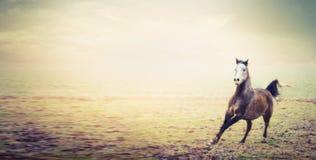 Młodego ogiera koński bieg na jesień paśnika tle Zdjęcia Stock