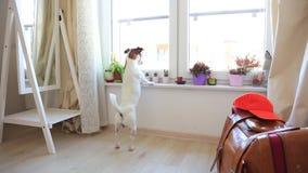 Młodej dźwigarki Russell terier psi patrzeć w okno zbiory