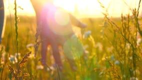 Młodej kobiety ręki omijanie przez dzikiego łąki pola Żeńska ręka dotyka dzikich kwiatów zakończenie zbiory wideo