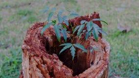 Młodej rośliny dorośnięcie w starym drewnie Zdjęcie Stock