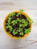 Młodej rośliny flance w żółtym garnku Odrośnięty ziarno obraz royalty free