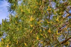 Młodej wiosny rożków sosnowa flanca Zdjęcie Stock