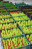 Młodociany zieleń pączek tulipan Fotografia Royalty Free