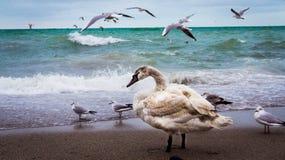 Młody łabędź Fotografia Royalty Free