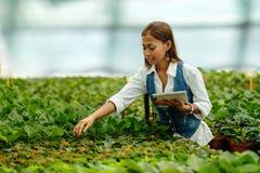 Młody ładny Azjatycki kobieta agronom z pastylką pracuje w szklarni sprawdza rośliny Fotografia Stock