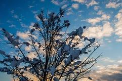 Młody śnieżny drzewa i zmierzchu niebo Zdjęcie Stock