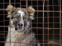 Młody Środkowy Azjatycki Pasterski pies w klatce Obraz Stock