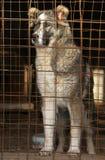 Młody Środkowy Azjatycki Pasterski pies w klatce Obraz Royalty Free