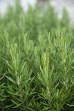 Młody świeży rozmarynowy dorośnięcie w ogródzie Rosmarinus officinali Obraz Stock