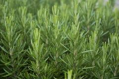 Młody świeży rozmarynowy dorośnięcie w ogródzie zielarscy rozmaryny Rosma Zdjęcie Stock