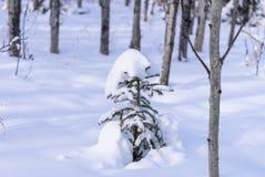 Młody świerkowy drzewo w naturalnym parku Fotografia Royalty Free