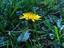Młody żółty dandelion obraz royalty free