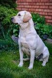 Młody żółty labradora obsiadanie na gazonie i patrzeć daleko od Obrazy Stock