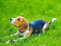 Młody żeński beagle psa lying on the beach w trawie Zdjęcia Stock