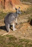 Młody żeński Czerwony kangur, Megaleia rufa, Fotografia Stock