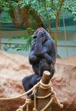 Młody żeński goryl obrazy royalty free