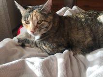 Młody żeński kot z bursztynem przygląda się odpoczywać na jej łóżku fotografia royalty free