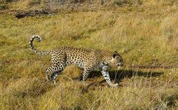 Młody żeński lampart patrzeje dla zwierząt tropić w Pom-Pom wyspy gry intymnej rezerwie, Okavango delta, Botswana, Afryka Obrazy Royalty Free
