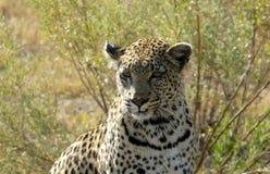 Młody żeński lampart patrzeje dla zwierząt tropić w Pom-Pom wyspy gry intymnej rezerwie, Okavango delta, Botswana, Afryka Zdjęcie Royalty Free