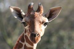 młody żyraf obraz stock