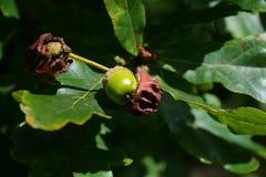 Młody acorn wyłania się od Dębowego kwiatu Obrazy Royalty Free