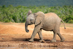 Młody Afrykański słoń Zdjęcie Royalty Free