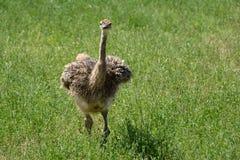 Młody Afrykański Strusi Struthio camelus zdjęcia royalty free