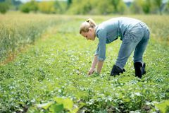 Młody agronom pracuje na polu na gorącym letnim dniu, Zdjęcia Stock