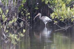 Młody Amerykański biały ibis który chodzi w płytkiej wodzie mężczyzna obrazy stock