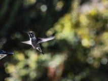 Młody Annas Hummingbird lata w kierunku czerwonego podwórko dozownika obrazy stock