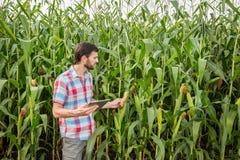 Młody atrakcyjny mężczyzna sprawdza kukurydzanych cobs w polu z brodą zdjęcie royalty free
